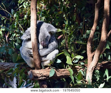 Very Big Koala Sleeping On A Tree Branch Eucalyptus