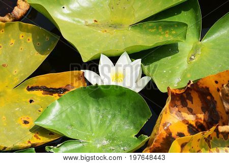 Beautiful water lily on the water's surface