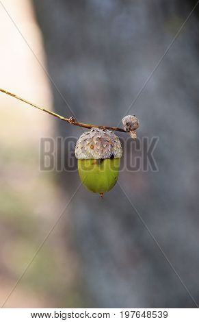 An acorn of holm oak tree on wooden background