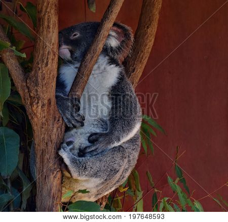Very Big Koala Looking On A Tree Branch Eucalyptus