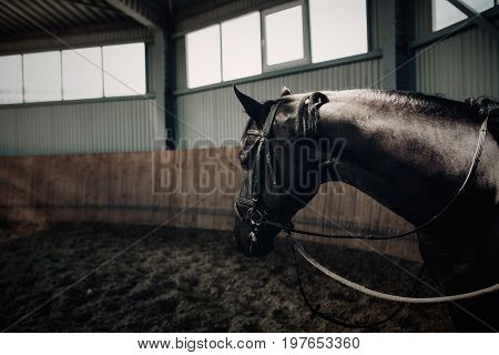 Black horse standing in the dark manege. With horse armor