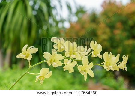Beautiful yellow Dendrobium Orchids in the garden
