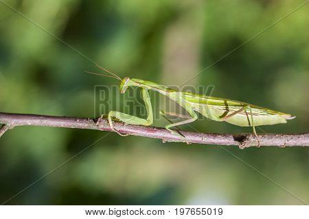 Young European Mantis or Praying Mantis Mantis religiosa crawling on branch