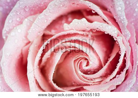 Beautiful pink rose In drops of dew  close-up macro. Delicate rose petals are closed in a spiral. Background, postcard, congratulation, an explanation in love