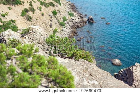 Juniper tree growing on a rocky beach. Focus on the tree.