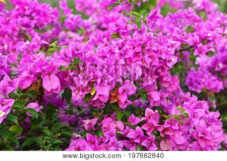 Bougainvillea pink flower bush with green foliage