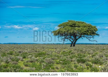 Green Tree in savannah classic african landscape