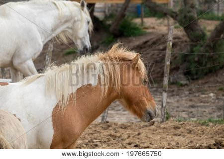 White And Brown Horses At Camargue Park On Delta Rhone River, France