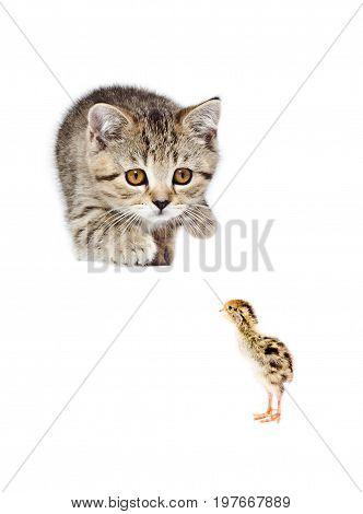 Playful kitten Scottish Straight hunts on little quail, isolated on white background