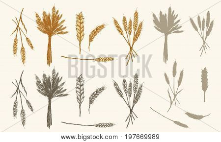 Wheat ears sketch vector collection had drawn wheat