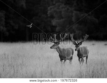 Two Red Deers Walking On Meadow