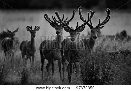 Red Deer Herd Standing On Meadow