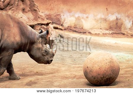 The black rhinoceros (Diceros bicornis) or hook-lipped rhinoceros is a species of rhinoceros native to eastern and southern Africa