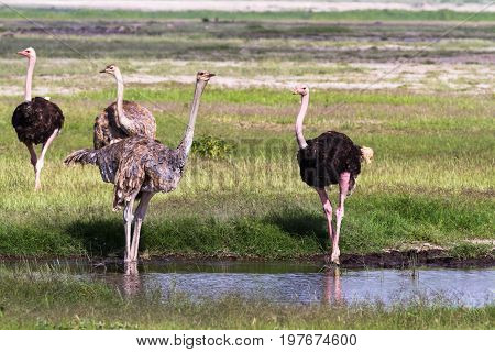 Group of ostrich in the savanna. Kenya, Africa
