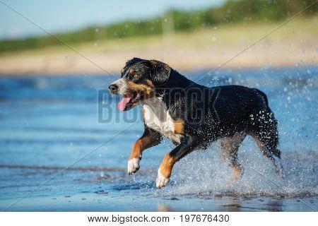 Entlebucher Mountain Dog running on the beach