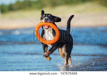 Entlebucher Mountain Dog playing with a toy on the beach