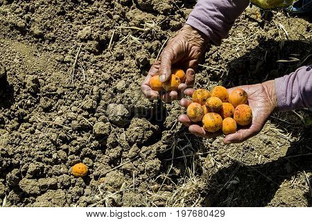 Collect the ripe apricots in the season, collect the apricots from the apricot tree, Mature glory in the season and collect the apricot fruits Apricot tree and poured apricots, collecting natural and organic apricots,