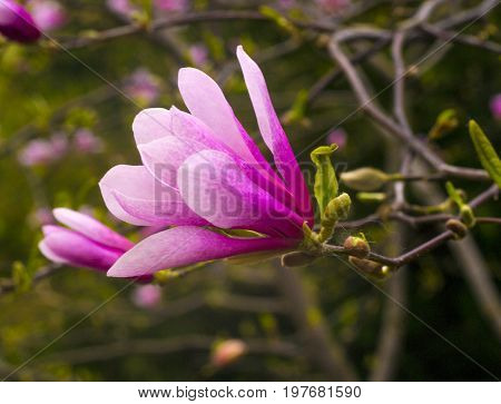 decoration of few magnolia flowers. pink magnolia flower. Magnolia. Magnolia flower spring branch
