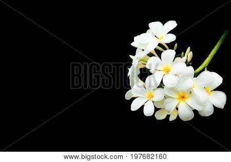 Plumeria flower white - yellow beautiful on black background ( Common name pocynaceae Frangipani Pagoda tree Temple tree )