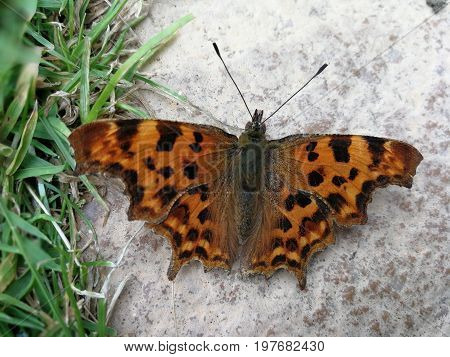 Comma butterfly resting on the ground with wings open