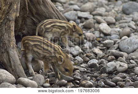 Sounder of young wild boars at zoo