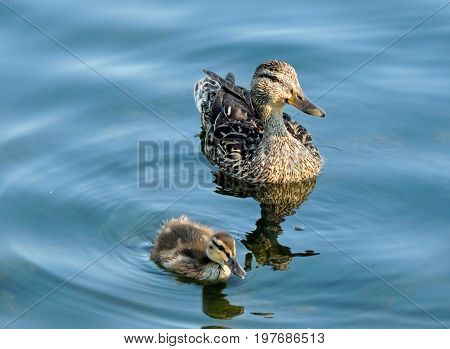 Mom duck and duckling on the pond