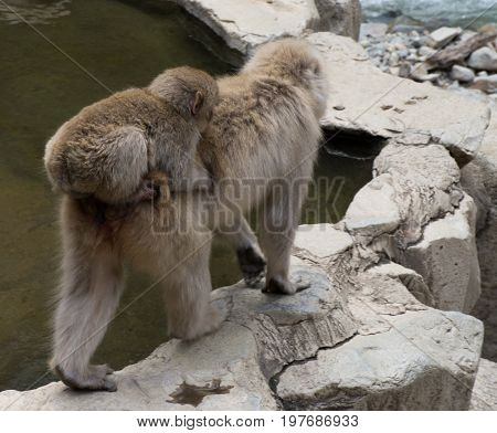 Close up of a baby snow monkey riding on its mother back at the edge of a hot spring They are Japanese macaques.