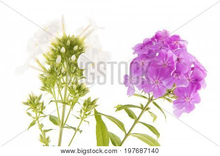 Purple and white Phlox flowers isolated in studio