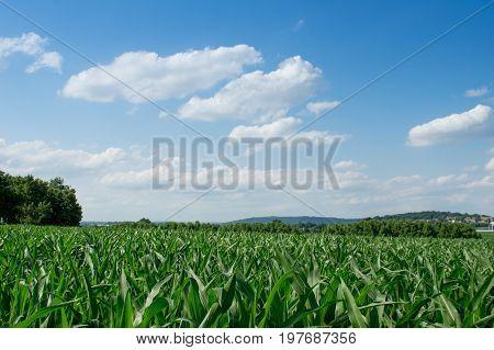 A cornfield on a calm summer evening.