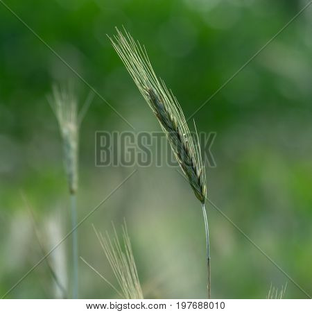 A stalk of grain against a nice background of bokeh.