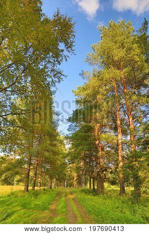 footpath between pines under blue sky