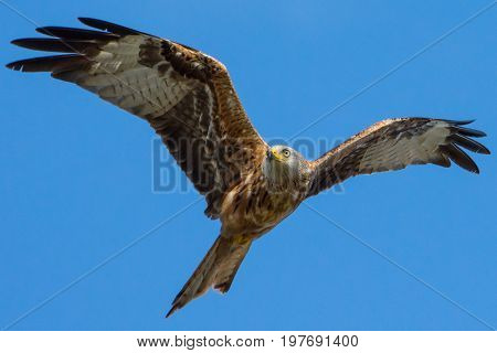 Red Kite Flying looking for prey England