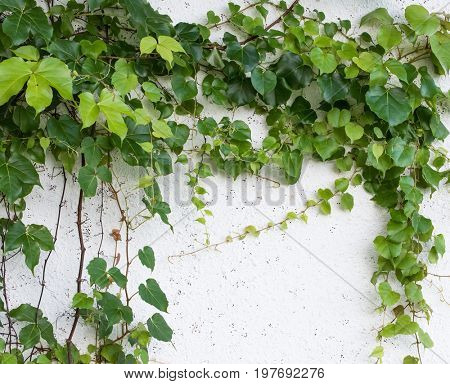 ivy growing on a wall of a building to be used for background or texture