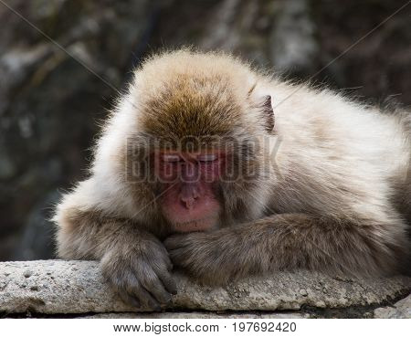Close up of a sleeping Japanese macaque or snow monkey with its red face resting on its left paw. It is perched on a rock slab.