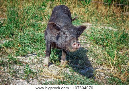 Funny black vietnam mini pig eating grass on the meadow. Summertime countryside