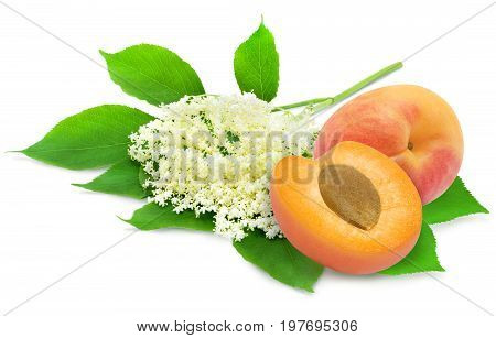Sprig of sambucus with green leaves and apricots isolated on a white background. Ingredients for syrup. Design element for product label, catalog print, web use.