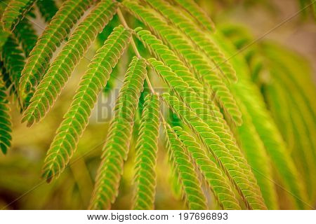 Beautiful green powderpuff tree leaves on the branch, Calliandra surinamensis, mimosaide family. Exotic tropical plant. Summertime, outdoors. Selective focus.