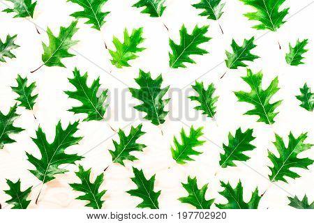 Oak leaf on white background Leaves oak pattern