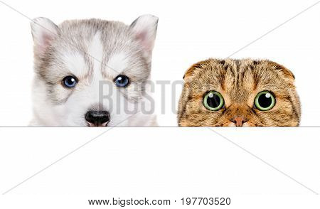 Portrait of a Husky puppy and Scottish Fold cat peeking from behind a banner, closeup, isolated on white background