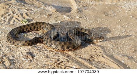snake known as Natrix tessellata crawling on sand in the steppe near volga river in the rays of the setting sun