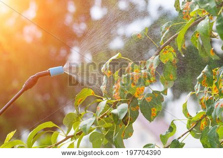 Spaying tree in the garden with water or plant protection products such as pesticides against diseases and pests