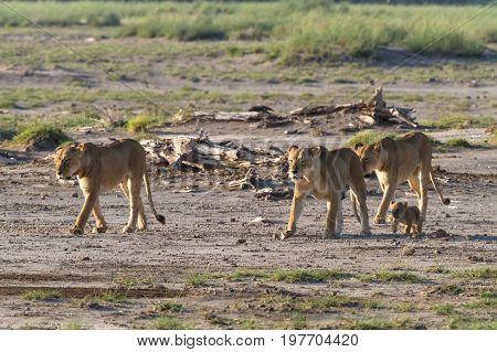 A large pride of lions in the savannah Amboseli. Kenya