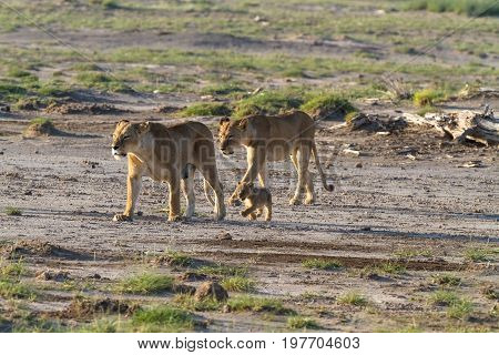 A large family of cats in the savannah Amboseli. Kenya