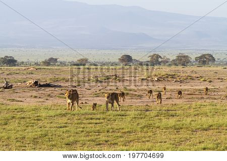 Landscape with pride of lions. Amboseli, Kenya