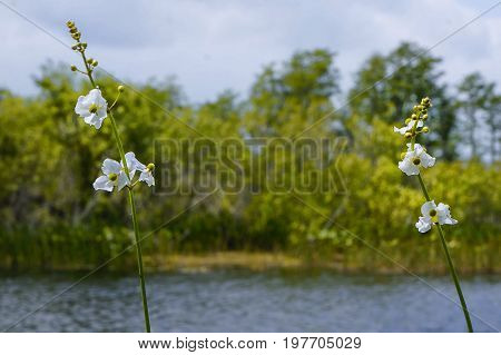 white swamp flower - arrowhead flower (Sagittaria latifolia) in the marsh of Florida