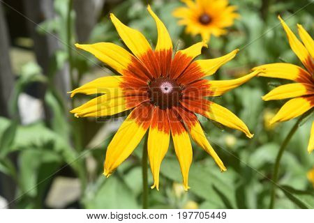 Elegant Looking Black Eyed Susan With Beautiful Colors