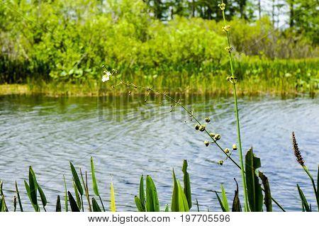 flowers in the everglades - arrowhead flower (Sagittaria latifolia) in the Florida Everglades
