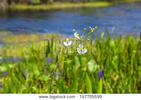 white flowers in the lily pads - arrowhead flower (Sagittaria latifolia) in the Florida Everglades
