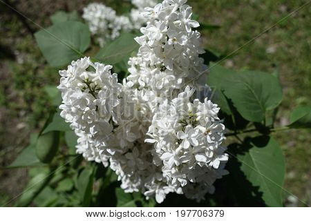 Close Up Of Three Panicles Of White  Lilac Flowers
