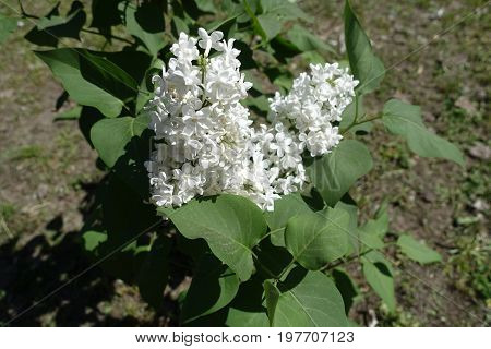 White Panicles Of Lilac In Late Spring